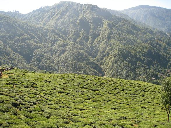 Indiai tea