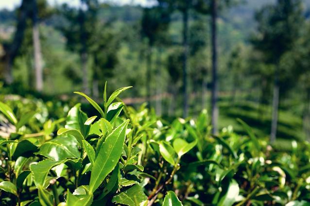 Srí lankai tea