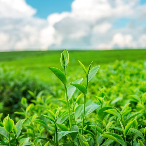 Fókuszban a zöld tea két legismertebb fajtája: a sencha és a matcha tea